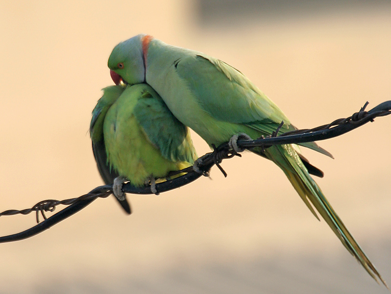 File:Rose-ringed Parakeets (Male & Female)- Foreplay at Hodal I