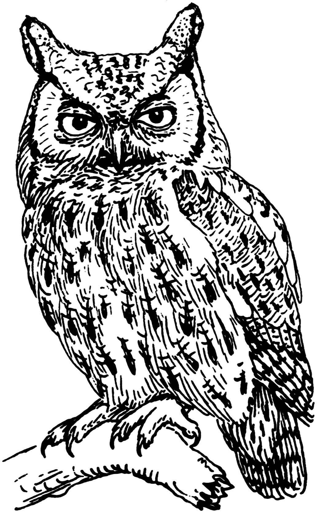 Line Art Owl : File screech owl psf wikimedia commons