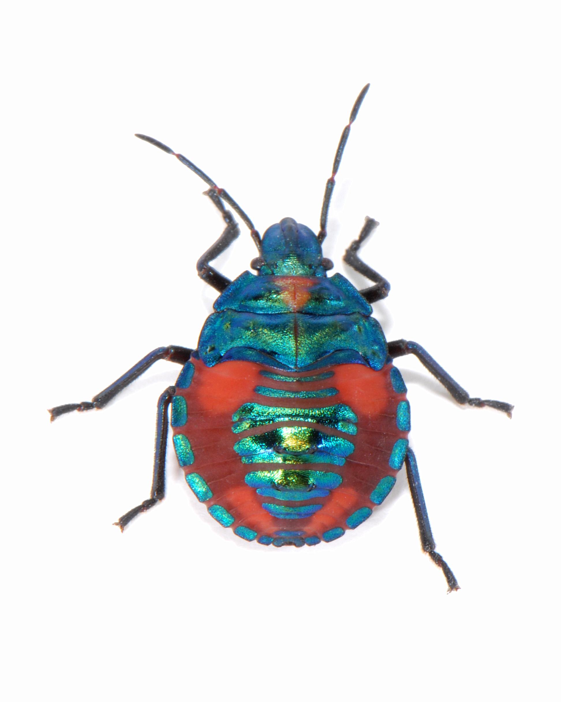 ... - Scutelleridae) - hibiscus harlequin bug (nymph) - dorsal view.jpg