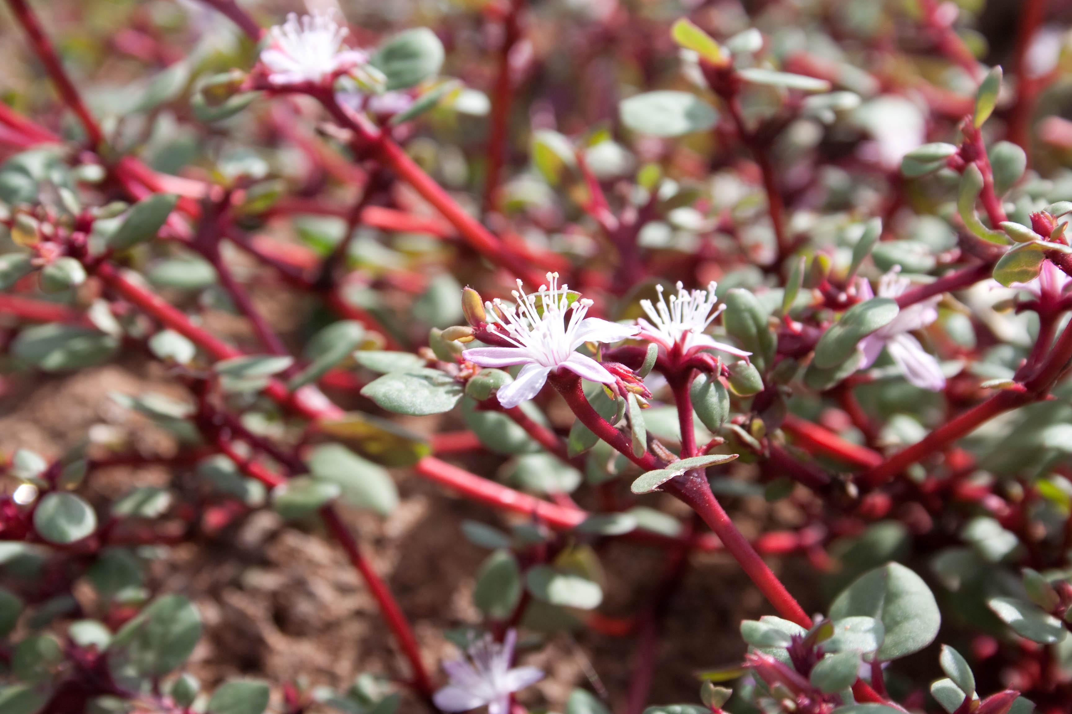 VƯỜN CÂY ĐV II Trianthema_portulacastrum1