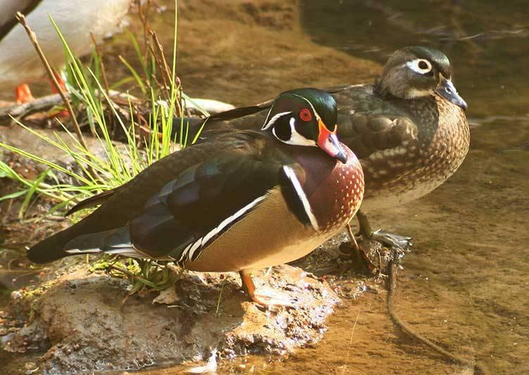 Wood Ducks on Corte Madera Creek Gary Leo 2010.jpg