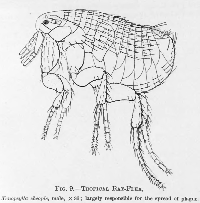 Depiction of Xenopsylla cheopis
