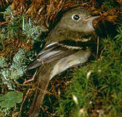 Description de l'image YellowbelliedFlycatcher23.jpg.