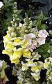 'Antirrhinum majus' Sundial Garden Hatfield House Herts England.jpg