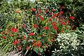 'Crocosmia × crocosmiiflora' Montbretia in Walled Garden border of Parham House, West Sussex, England 2.jpg