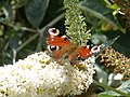'Peacock' butterfly, at Powderham Castle - geograph.org.uk - 1416624.jpg