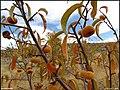 (((درخت هلو))) - panoramio.jpg