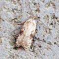 (0695) Agonopterix alstromeriana - Flickr - Bennyboymothman (1).jpg