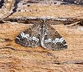 (1803) Small Rivulet (Perizoma alchemillata) (19600684494).jpg