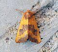 (2269) Centre-barred Sallow (Atethmia centrago) - Flickr - Bennyboymothman.jpg