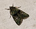 (2292) Tree-lichen Beauty (Cryphia algae) (4921540592).jpg