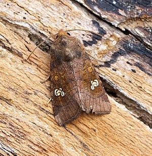 Noctuidae - Amphipoea oculea