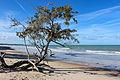 Árvore retorcida na Praia de Cumuruxatiba, Prado - BA.jpg