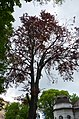 Бук червонолистий. Кам'янець-Подільський. Фото 1.jpg