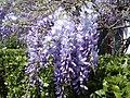 Гліцинія в Нікітському ботанічному саду.jpg