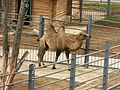 Двугорбый верблюд Гродно 1.jpg