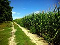 Дорога між лісосмугою і кукурудзою - panoramio.jpg