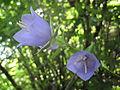 Златоврв - Цвеќиња (52).JPG