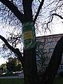 Катальпа чортківська, площа біля Чортківської районної державної адміністрації.jpg