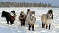 Молодые лошади якутской породы.jpg