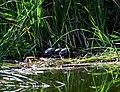 Парк Нивки західна частина Болотна черепаха європейська DSC 00131.jpg