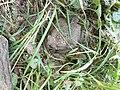 Сommon toad - Bufo bufo - Кафявата крастава жаба.jpg