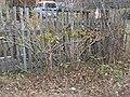 Элеутеррококк колючий осенью на даче ф3.jpg