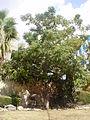 בצל האיזדרכת בחצר בית פישר 7.10.2012.jpg