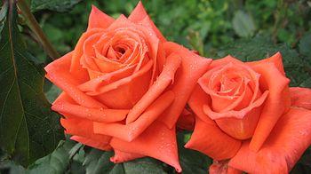 ורדים.jpg