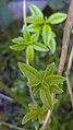 برگ به لیمو -Aloysia citrodora 03.jpg