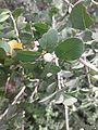 பூலாஞ்சி 3 (Securinega leucopyrus ).jpg