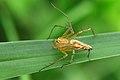 முட்கால் சிலந்தி - திருவள்ளூர் - Lynx Spider from Thiruvallur, Tamil Nadu.jpg
