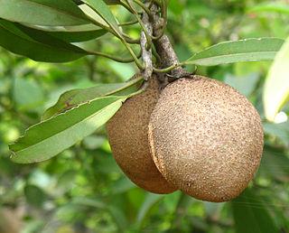 <i>Manilkara zapota</i> evergreen tree
