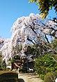 中院 桜.jpg