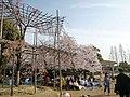 京都競馬場の桜 - panoramio.jpg