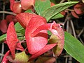 冬紅花 Holmskioldia sanguinea -香港荔枝角公園 Lai Chi Kok Park, Hong Kong- (9204819901).jpg