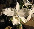卡特蘭屬 Cattleya skinneri v alba -香港蘭花節 Hong Kong Orchid Festival- (16739968980).jpg
