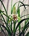 四季星蝶 Cymbidium ensifolium 'Star Butterfly' -香港沙田洋蘭展 Shatin Orchid Show, Hong Kong- (31364301261).jpg