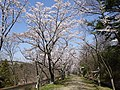 峰山公園の桜並木.jpg