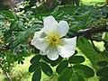 扁剌峨嵋薔薇 Rosa omeiensis f pteracantha -巴黎植物園 Jardin des Plantes, Paris- (9227098395).jpg