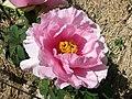 日本牡丹-村重櫻 Paeonia suffruticosa Muramatsu-zakura -日本大阪長居植物園 Osaka Nagai Botanical Garden, Japan- (40579018340).jpg