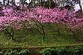 櫻花 Cherry blossoms - panoramio (2).jpg