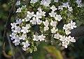 白花敗醬 Patrinia villosa -深圳仙湖植物園 Fairy Lake Botanical Garden, China- (9240149158).jpg