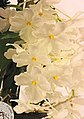 石斛蘭屬 Dendrobium farmeri v alba 'Hsinying' -台南國際蘭展 Taiwan International Orchid Show- (40876979331).jpg