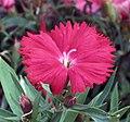 石竹 Dianthus chinensis -香港荔枝角公園 Lai Chi Kok Park, Hong Kong- (9447869065).jpg