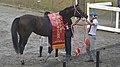第37回白山大賞典の優勝レイを着装した優勝馬インカンテーション(2017年10月3日).jpg