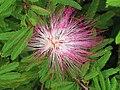 艷紅合歡 Calliandra eriophylla -香港動植物公園 Hong Kong Botanical Garden- (9190631049).jpg