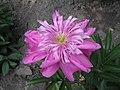 芍藥-紫鳳羽 Paeonia lactiflora 'Purple Phoenix Feather' -北京景山公園 Jingshan Park, Beijing- (12403737975).jpg