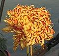 菊花-紅元寶 Chrysanthemum morifolium 'Red Yuanbao' -中山小欖菊花會 Xiaolan Chrysanthemum Show, China- (12026690984).jpg