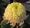 菊花-黃高原 Chrysanthemum morifolium 'Yellow Highland' -中山小欖菊花會 Xiaolan Chrysanthemum Show, China- (12129359713).jpg